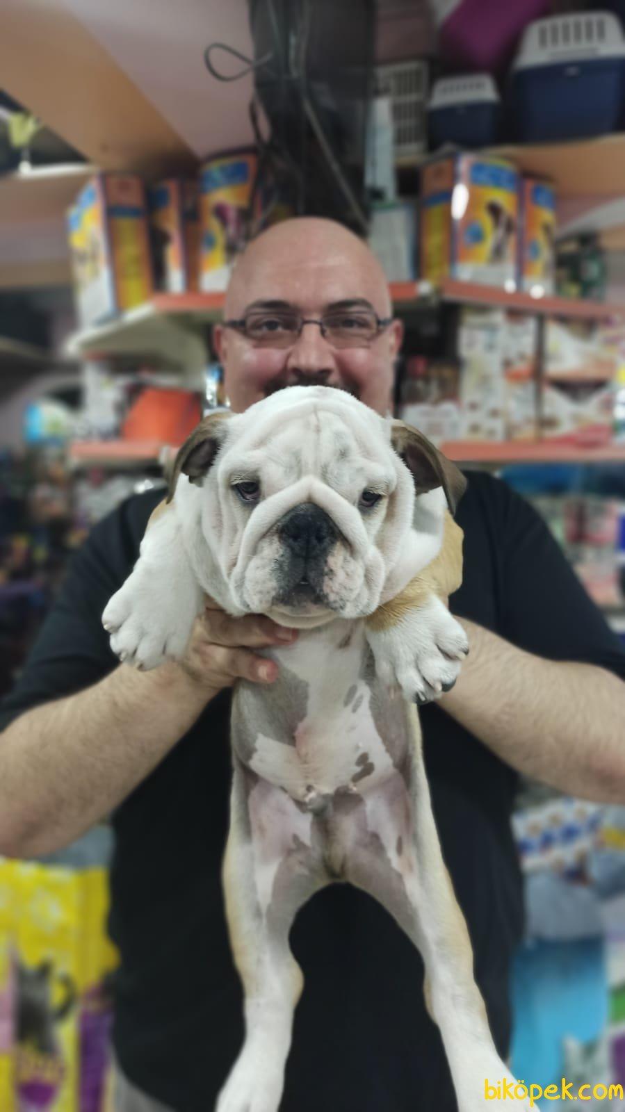 İngiliz Bulldog Yavruları Üst Segment Irkı Bilenler Takdir Edecek 2