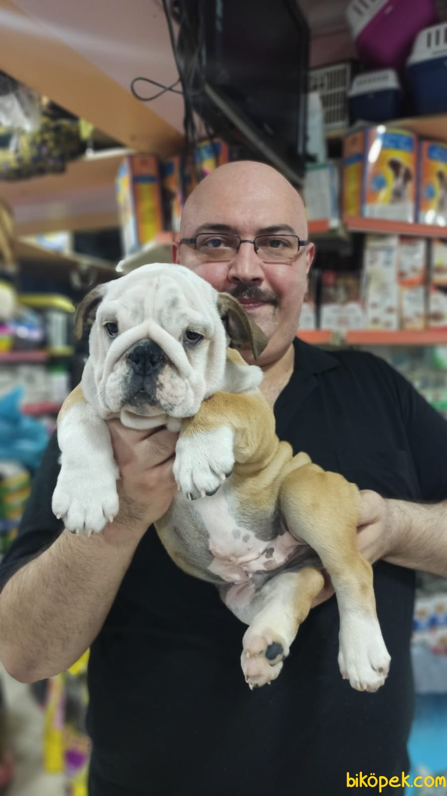 İngiliz Bulldog Yavruları Üst Segment Irkı Bilenler Takdir Edecek 1