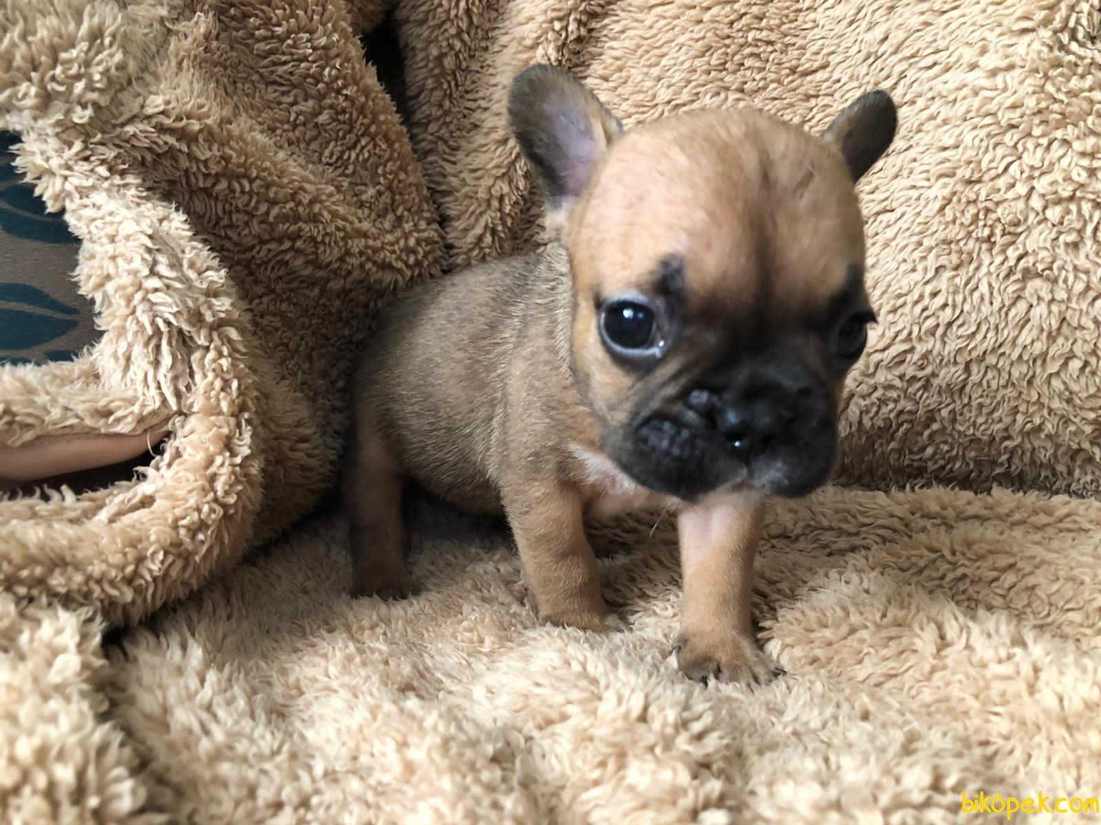 Irk Garantili Harika French Bulldog Yavrularımız 3