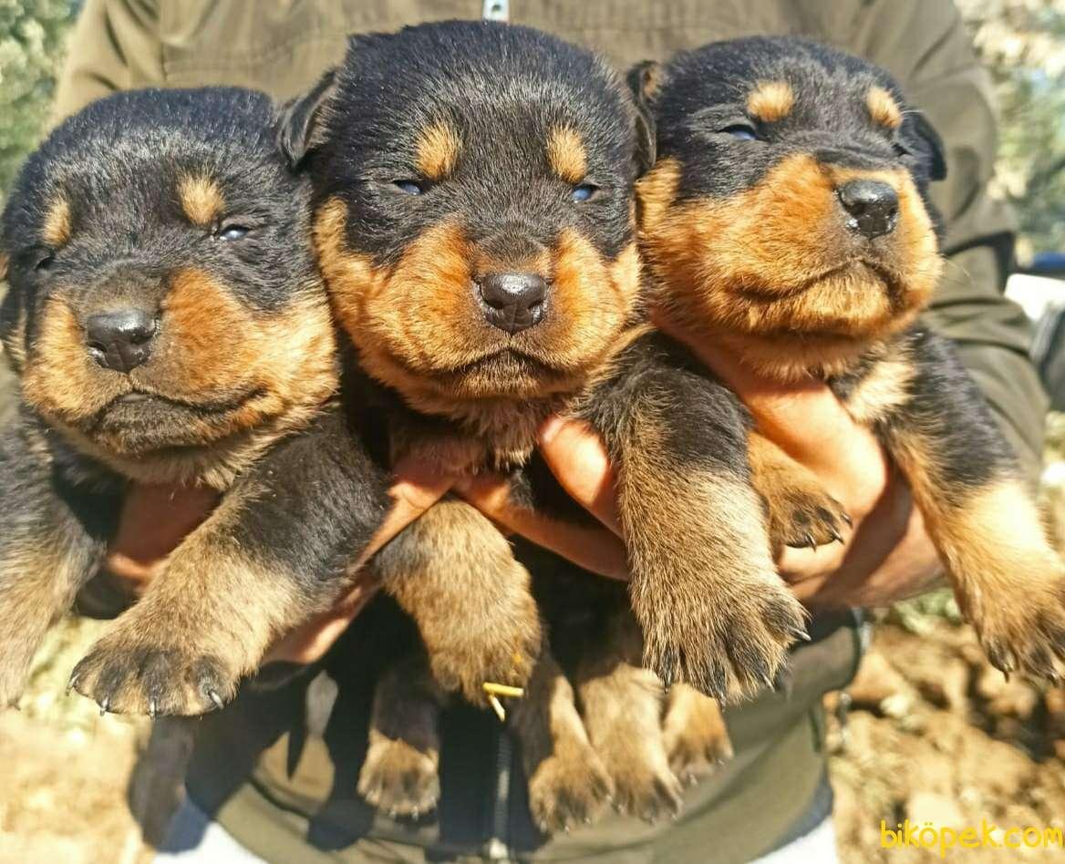Irk Ve Sağlık Garantili Dişi Rottweiler Yavrular 1