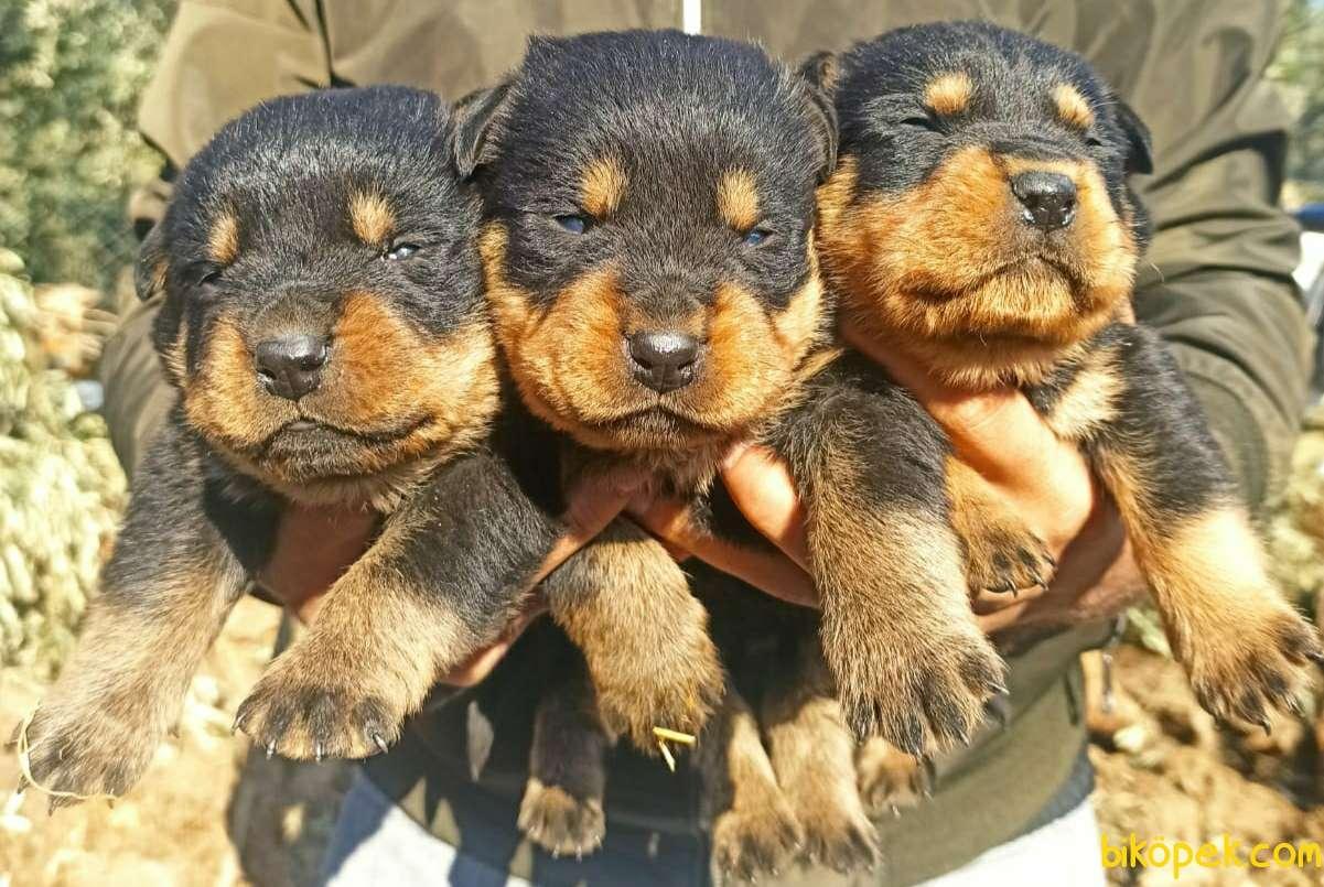 Irk Ve Sağlık Garantili Dişi Rottweiler Yavrular 3