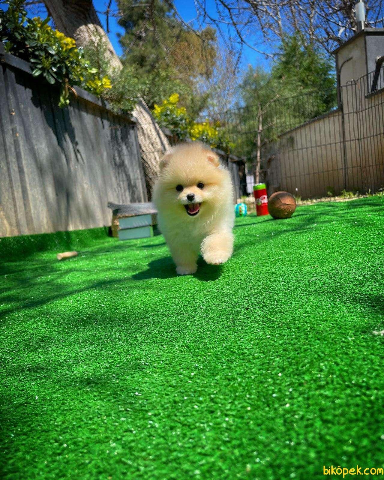 Irk Ve Sağlık Garantili Pomeranian Boo Yavrularımız 5