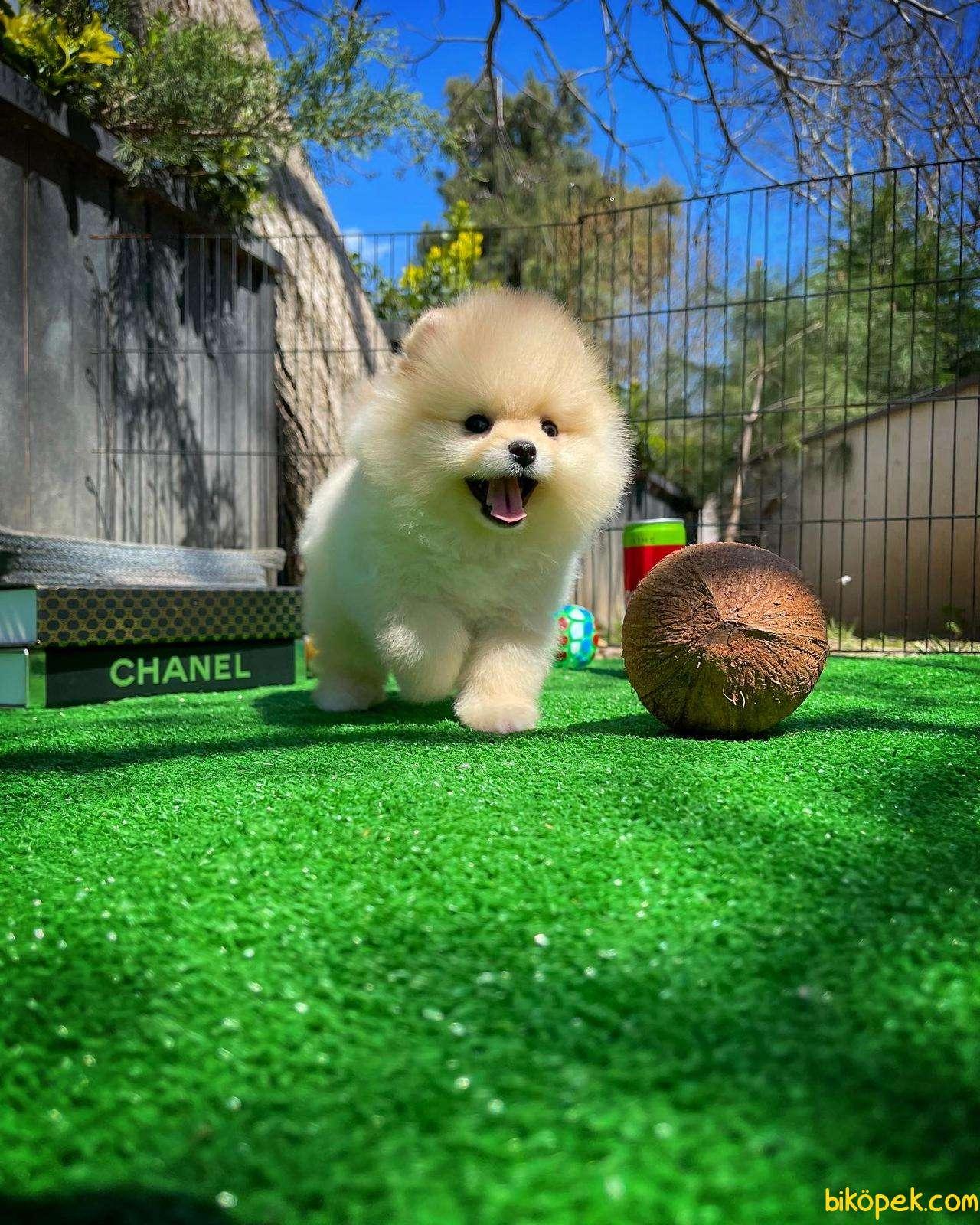 Irk Ve Sağlık Garantili Pomeranian Boo Yavrularımız 2