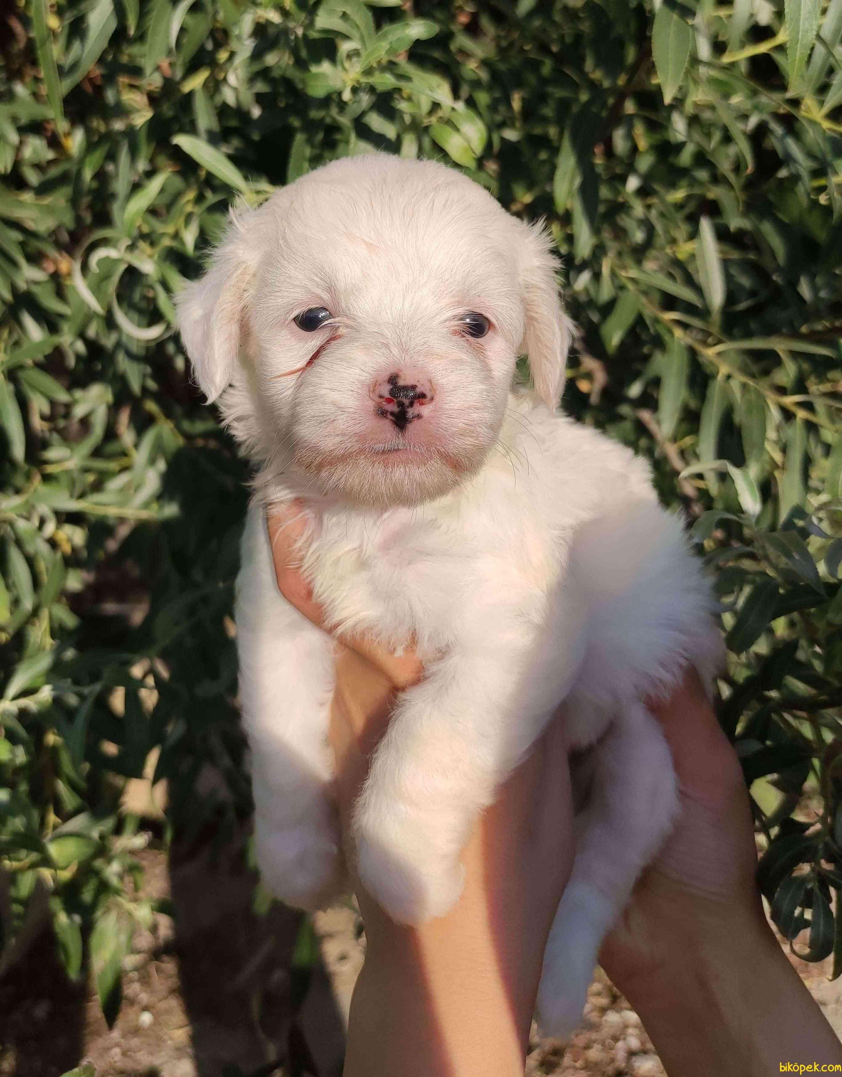 Irk Ve Sağlık Garantili Terrier Yavrular 1