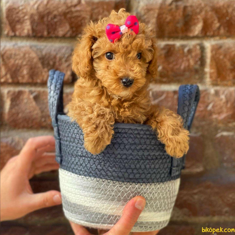 Irk Ve Sağlık Garantili Toy Poodle Yavrular 2