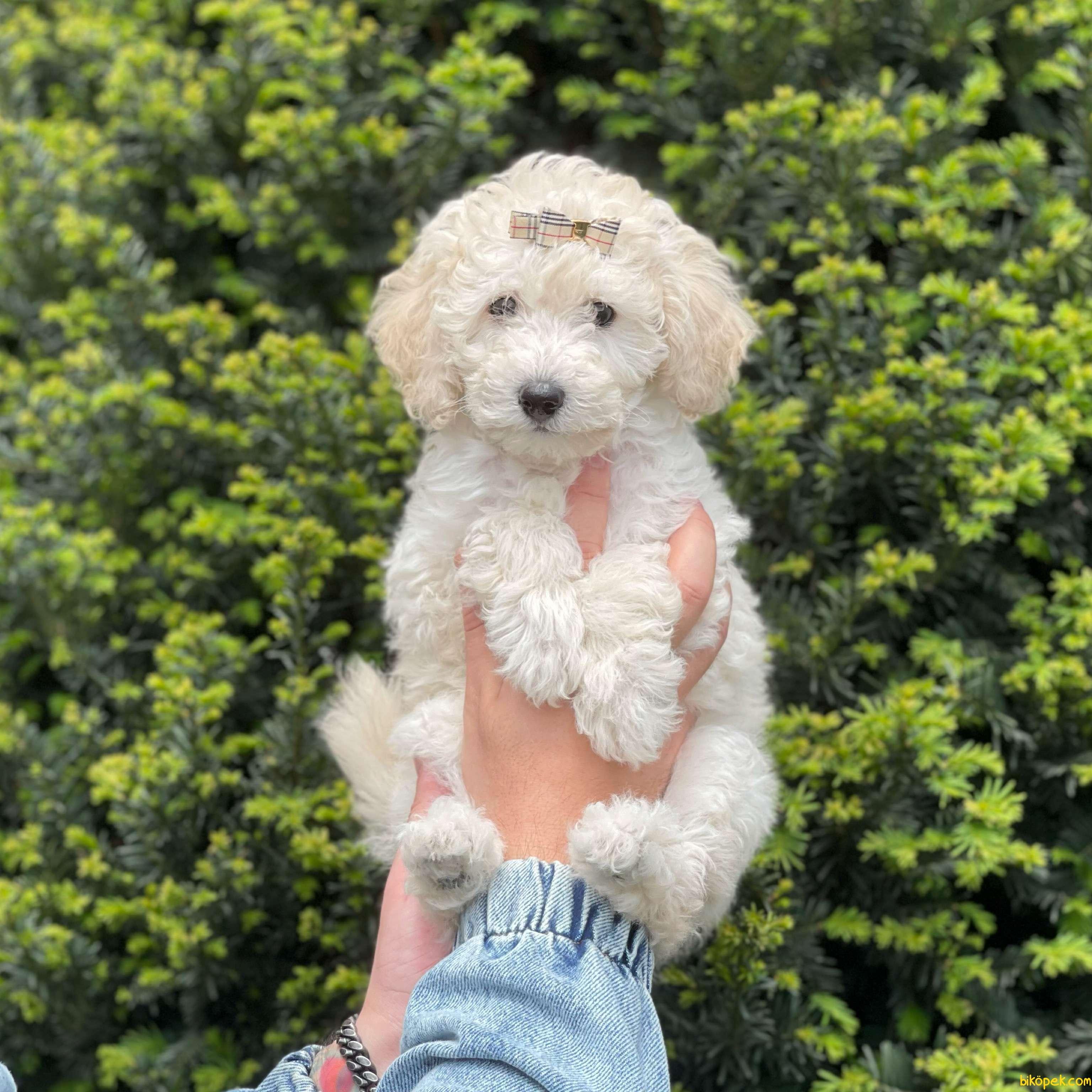 Irk Ve Sağlık Garantili Toy Poodle Yavrular 3