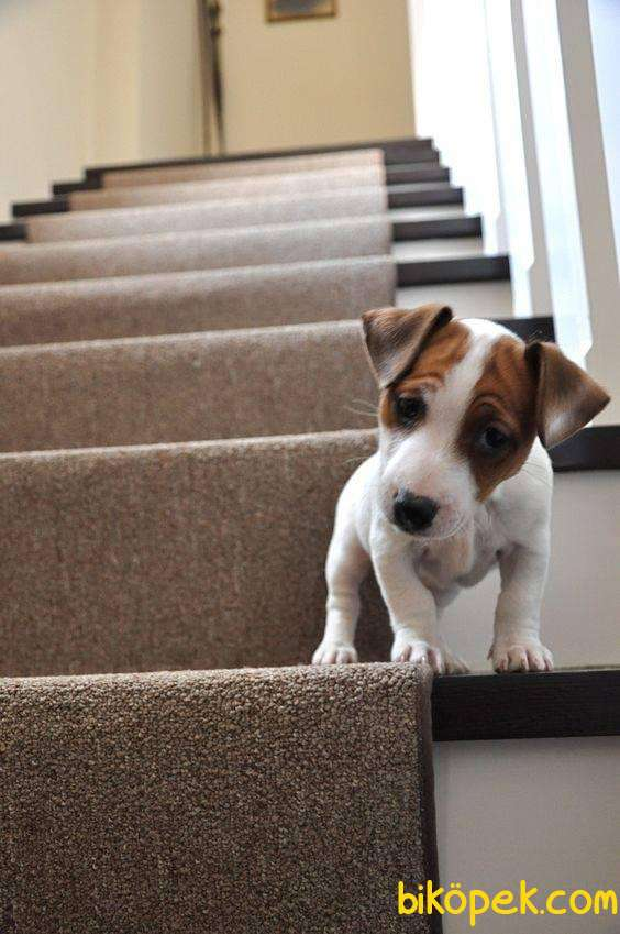 Jackrussell Terrier Maske Köpeği Maylo Kısa Bacak Orjinal 2