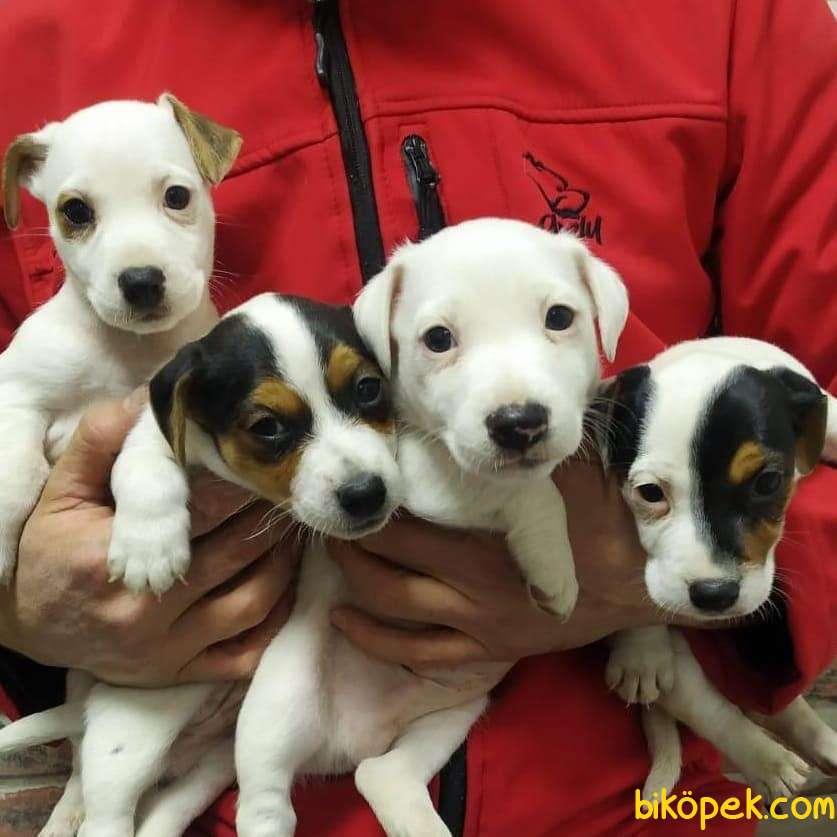 Jackrussell Terrier Maske Köpeği Maylo Kısa Bacak Orjinal 3