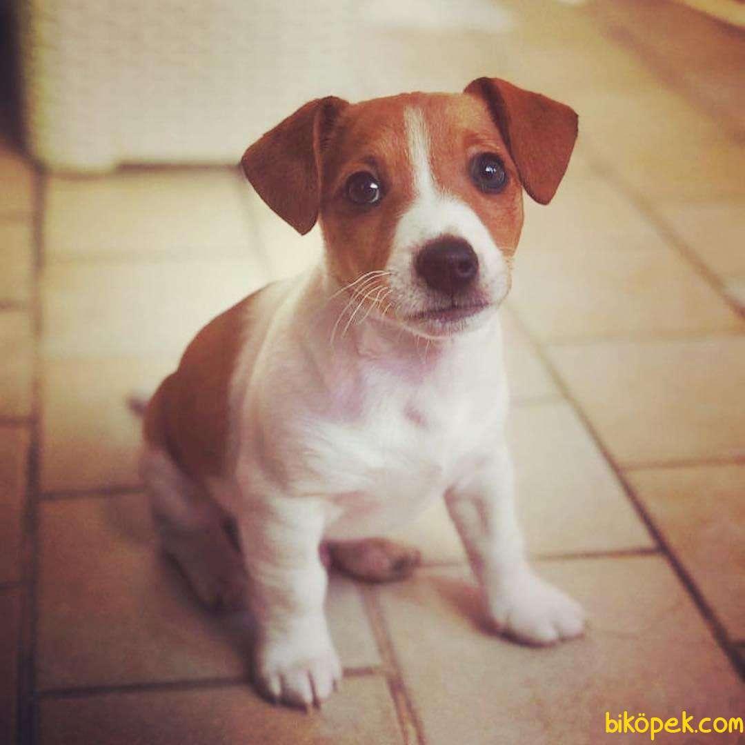 Jackrussell Terrier Maske Köpeği Maylo Kısa Bacak Orjinal 1