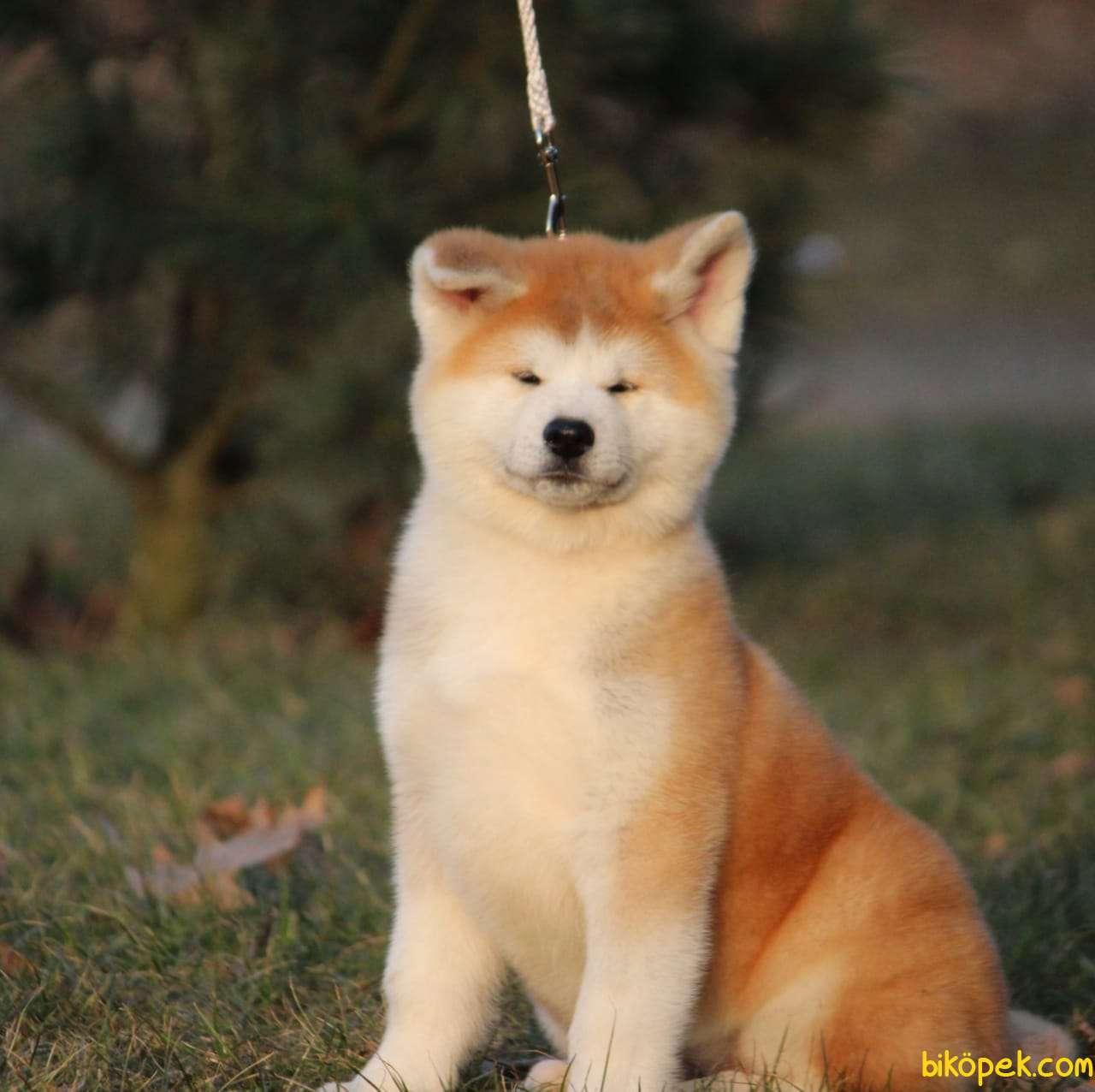 Japon Akita İnu Yavrularimiz ( Hachiko ) 1
