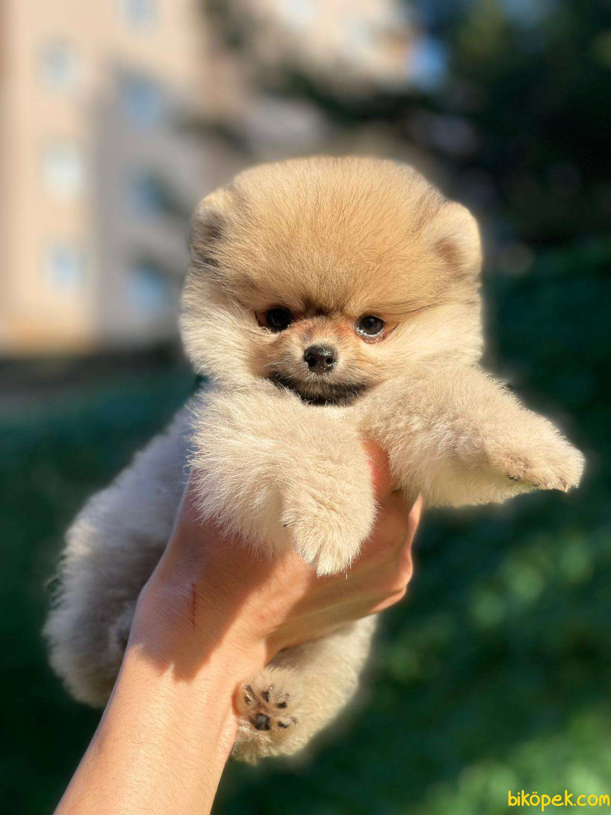 Kaliteli Pomeranian 4