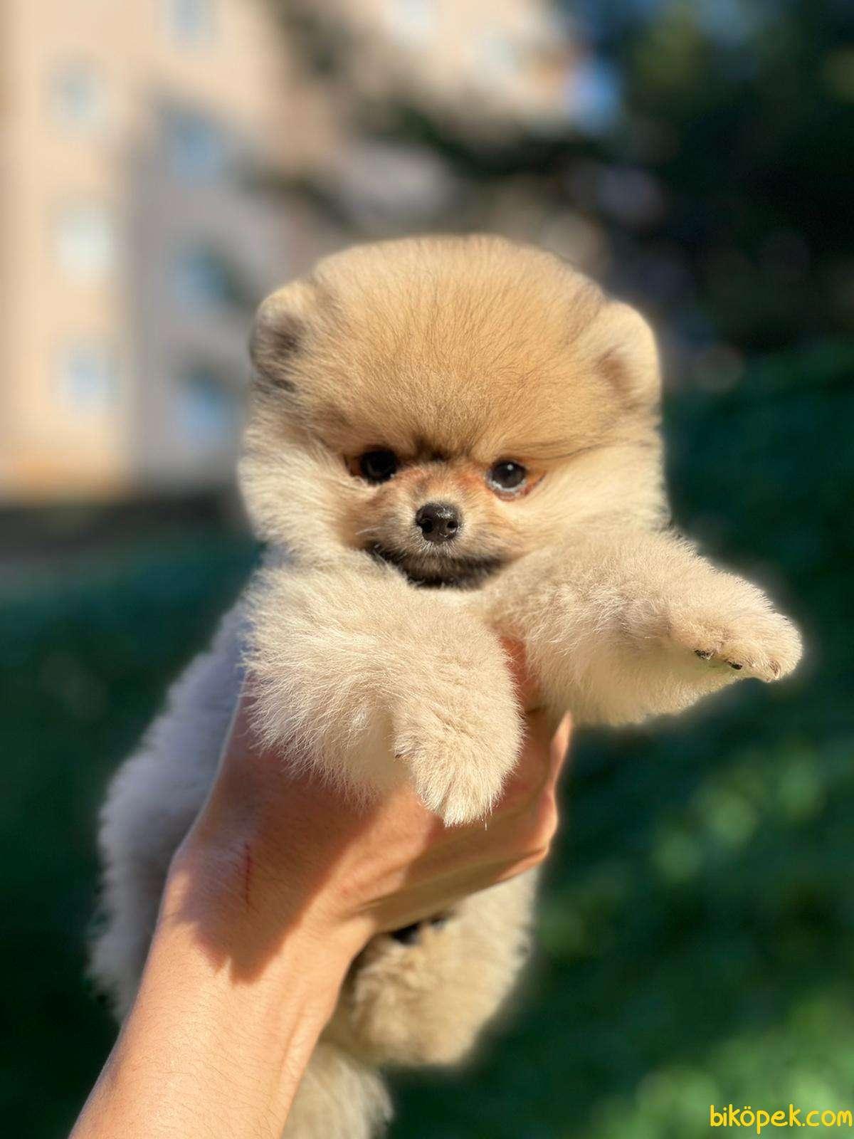 Kaliteli Pomeranian 5