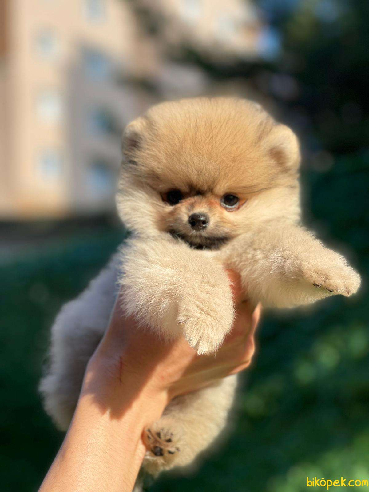 Kaliteli Pomeranian 3