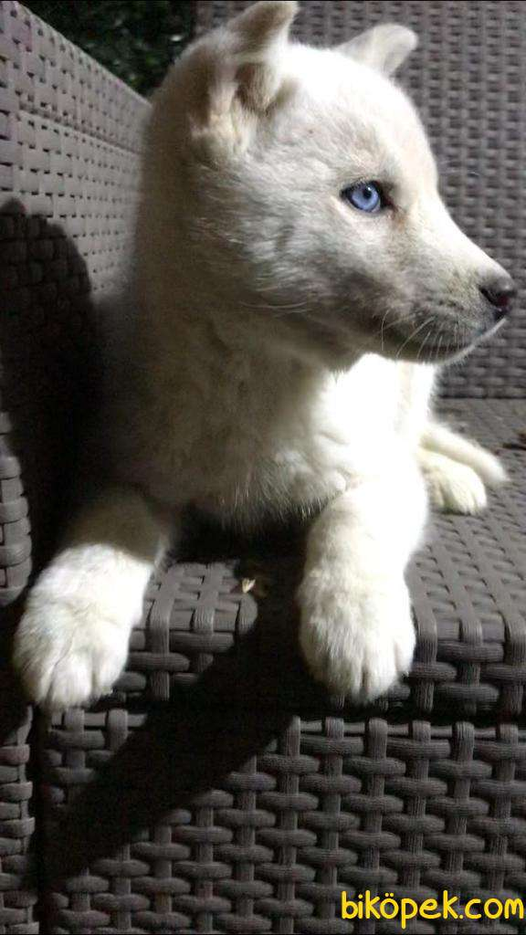Kar Beyaz Husky Erkek Yavrumuz 3