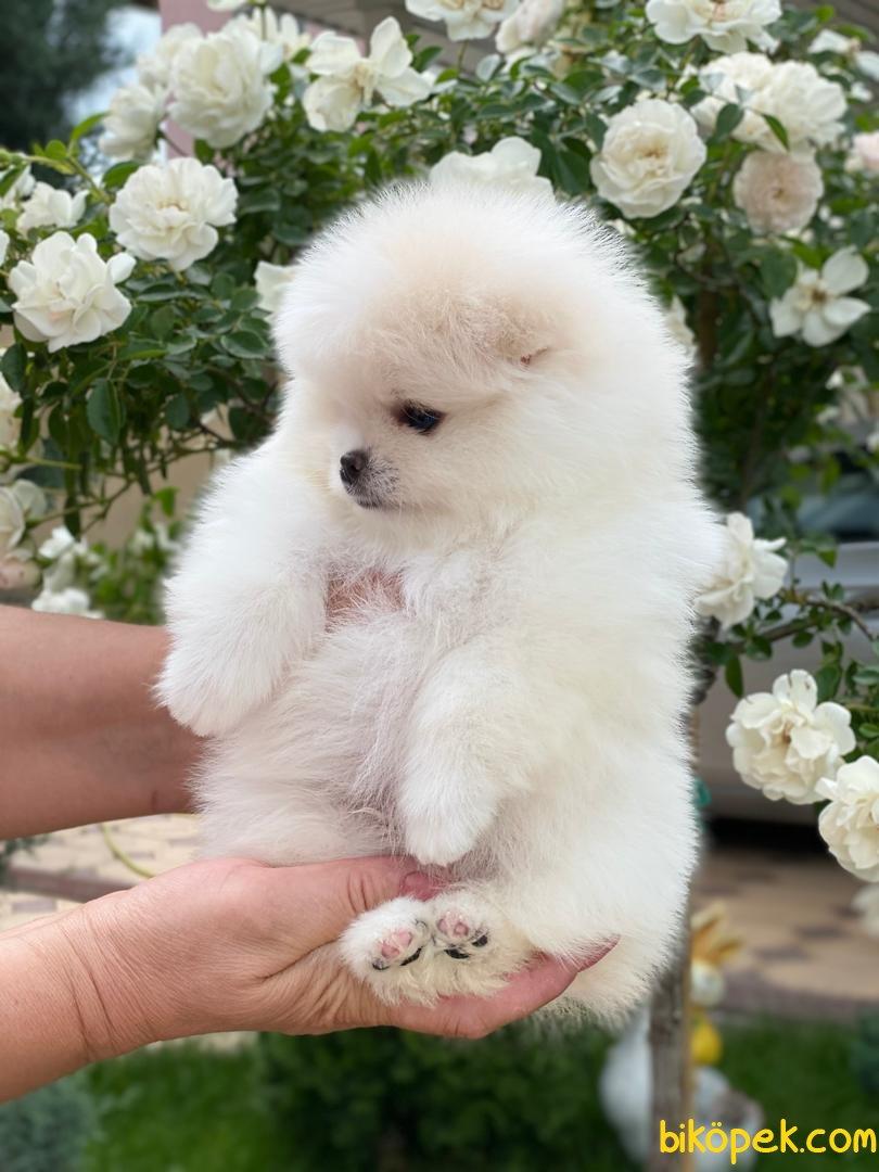 Kar Beyaz Orjinal Pomeranian Boo 2