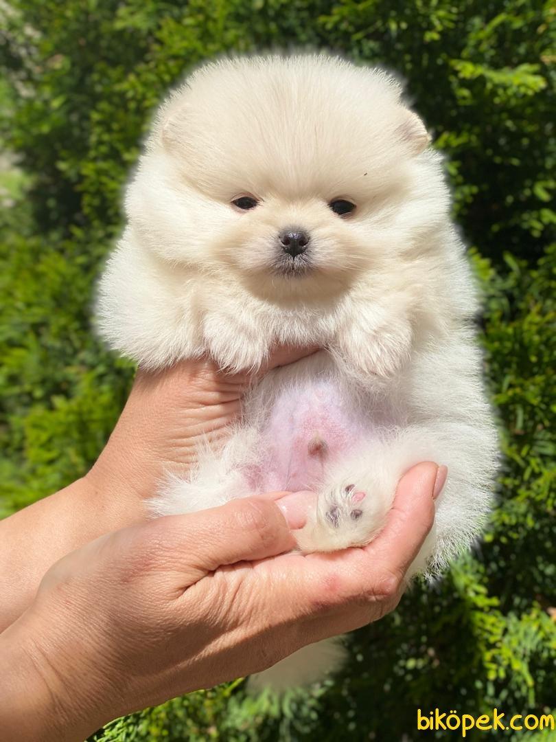 Kar Beyaz Orjinal Pomeranian Boo 1