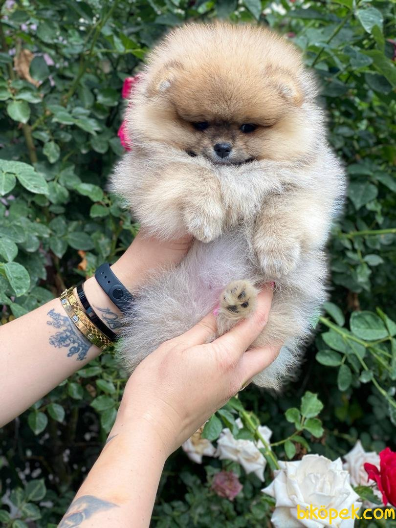 Kar Beyaz Orjinal Pomeranian Boo 3