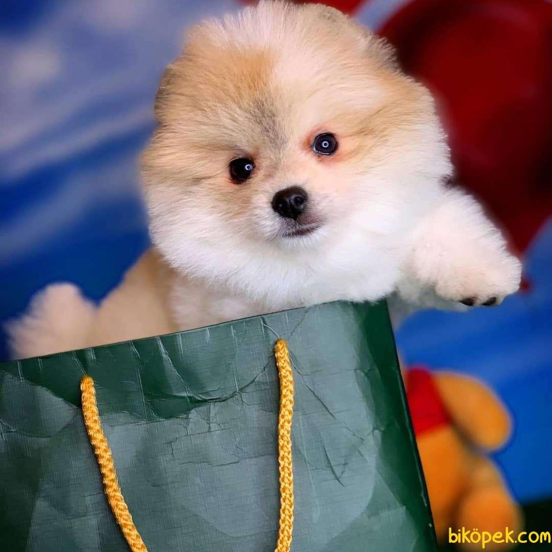 Kar Beyaz Pomeranian Boo Yavrularımız Için Bizimle Iletişime Geçe 2