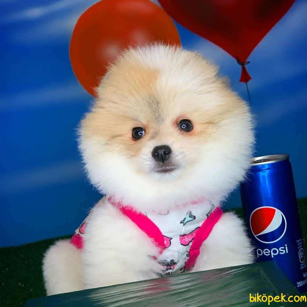 Kar Beyaz Pomeranian Boo Yavrularımız Için Bizimle Iletişime Geçe 3