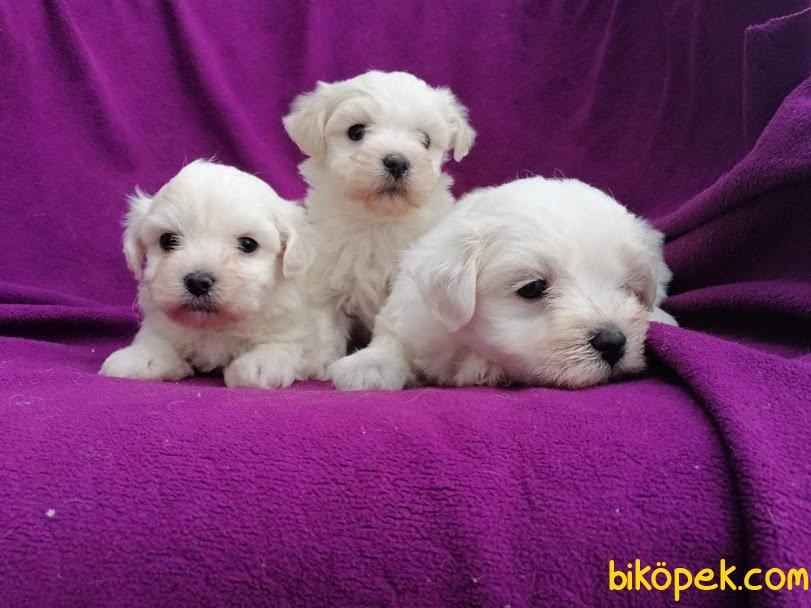 Kar Topu Maltese Terrier Yavruları 4