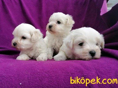 Kar Topu Maltese Terrier Yavruları 3