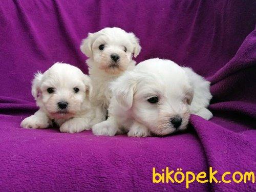 Kar Topu Maltese Terrier Yavruları 1