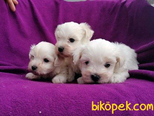 Kar Topu Maltese Terrier Yavruları 2
