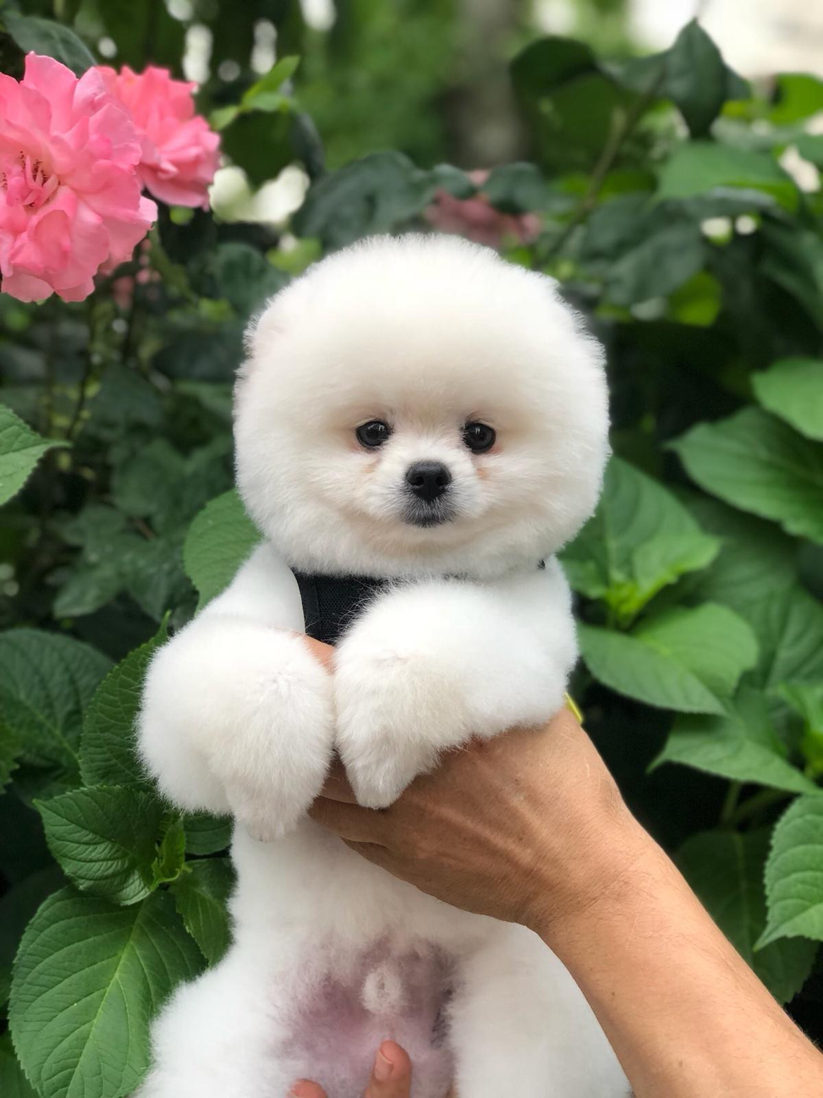 Karbeyaz Pomeranian 3