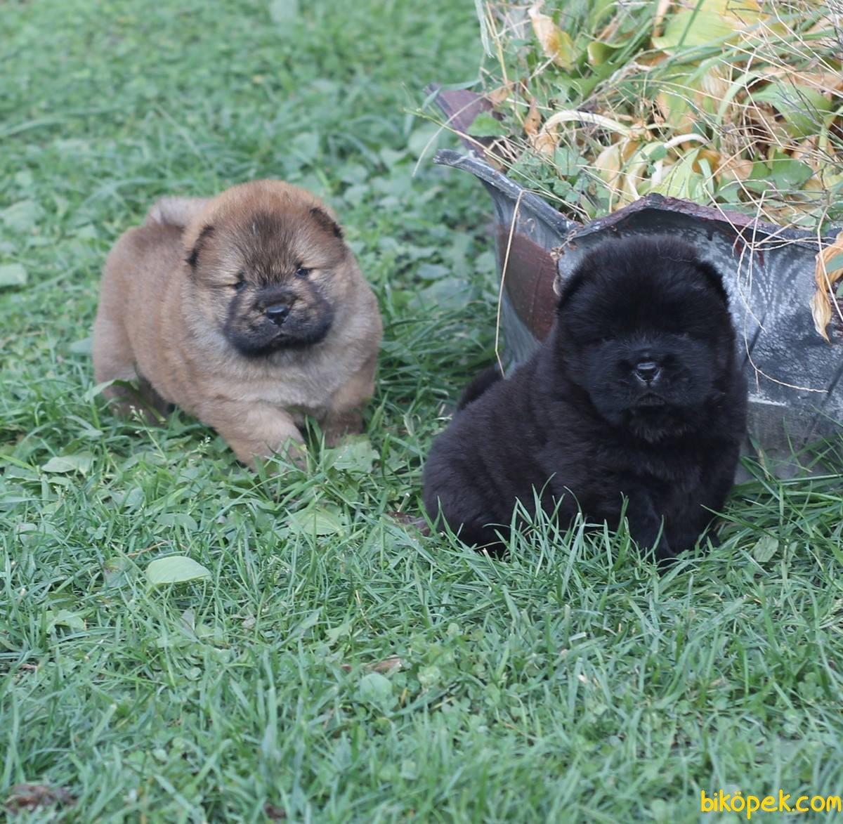 Kızıl Ve Siyah Chow Chow Yavruları 5