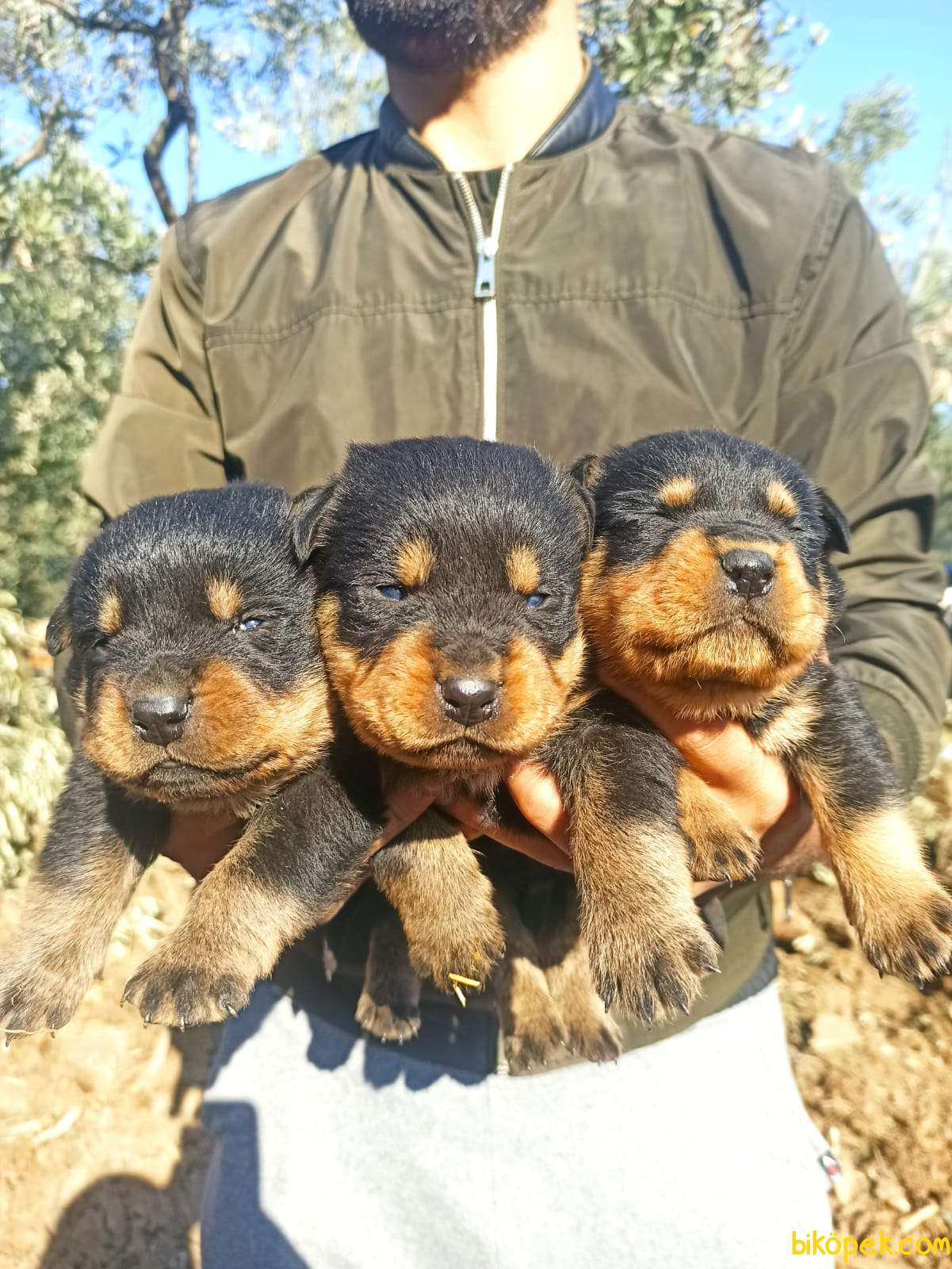 Koca Kafa Irk Garantili Rottweiler Yavrular 3