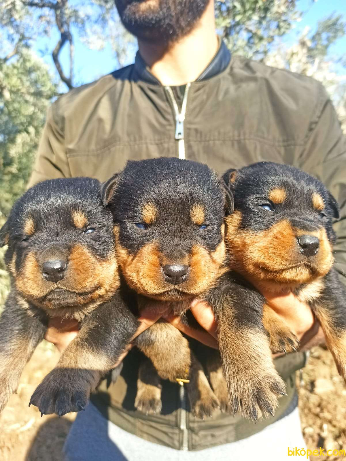 Koca Kafa Irk Garantili Rottweiler Yavrular 1