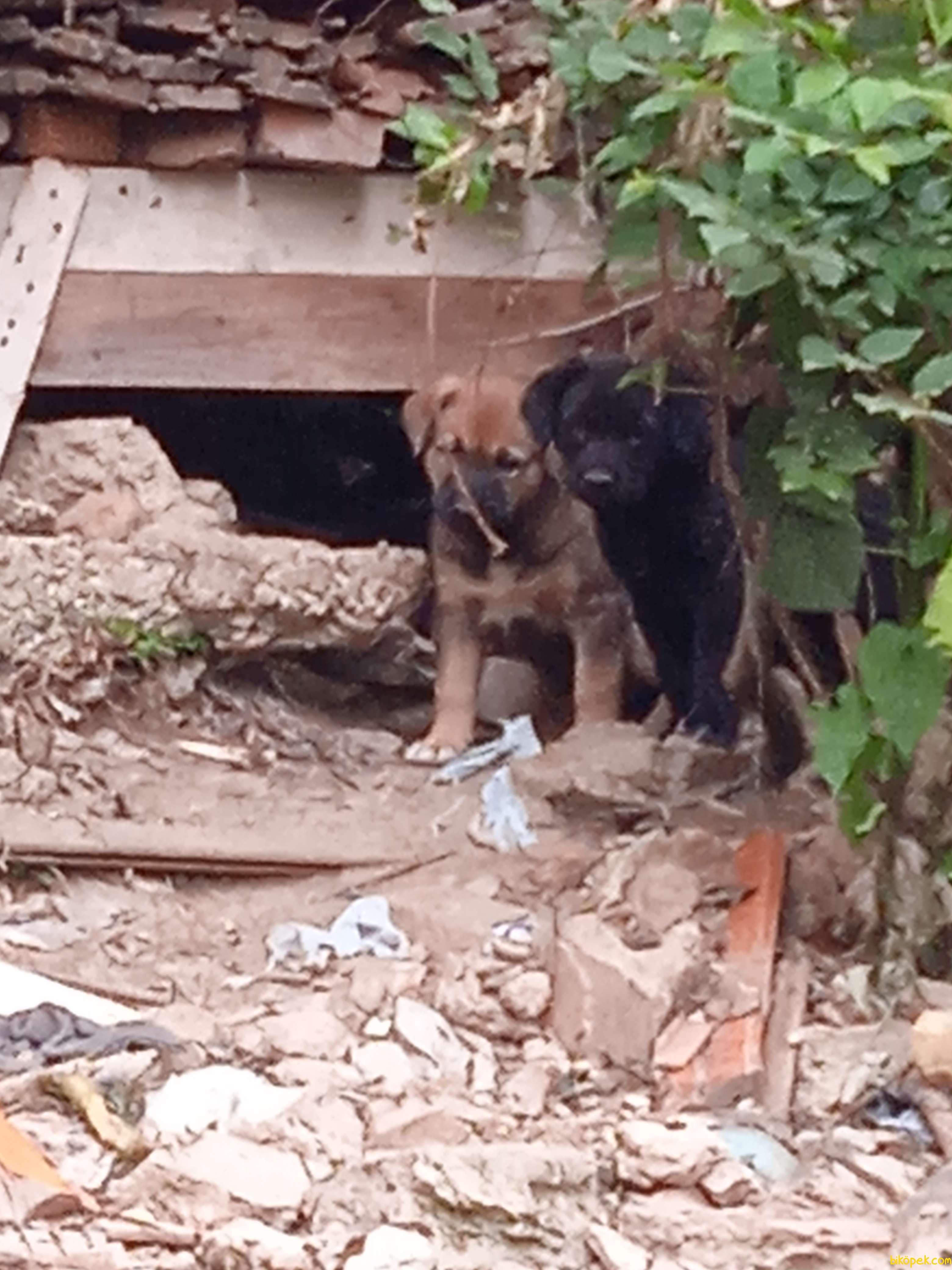 Köpek Sokak Köpeği Ama Köpekler Sağlıklı Sahiplendiricem 2
