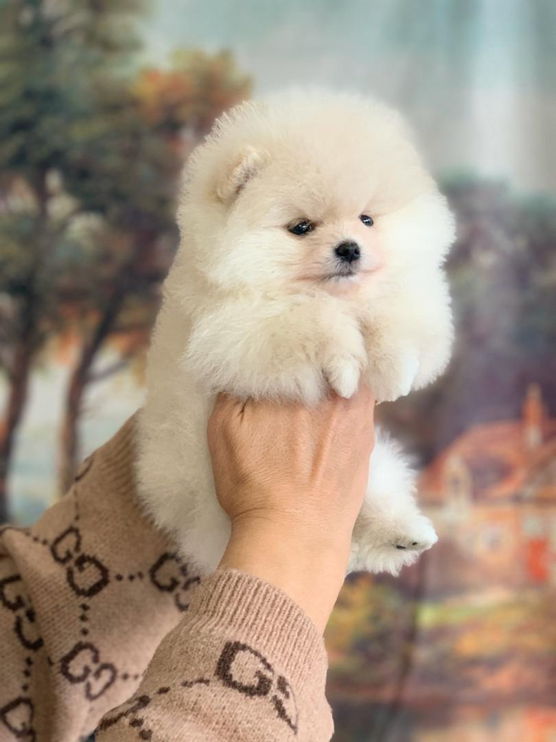 Kusursuz Yavru Pomeranian 1