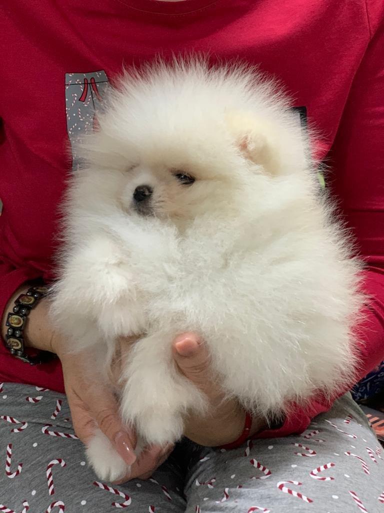 Kusursuz Yavru Pomeranian 4