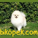 Kusursuz Yavru Pomeranian 2