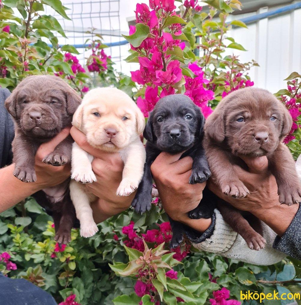 Labrador A Kalite Yavrular Üretim Çiftliği 1