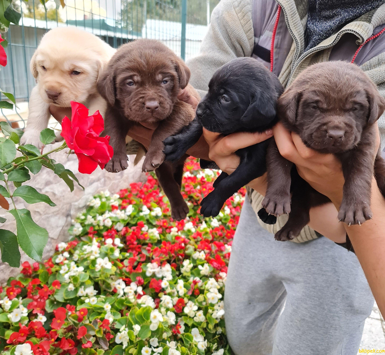 Labrador A Kalite Yavrular Üretim Çiftliği 5