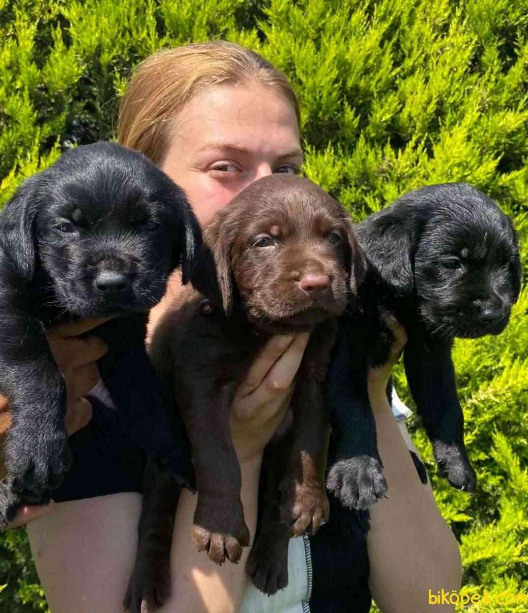 Labrador A Klas Mükemmel Yavrular 2