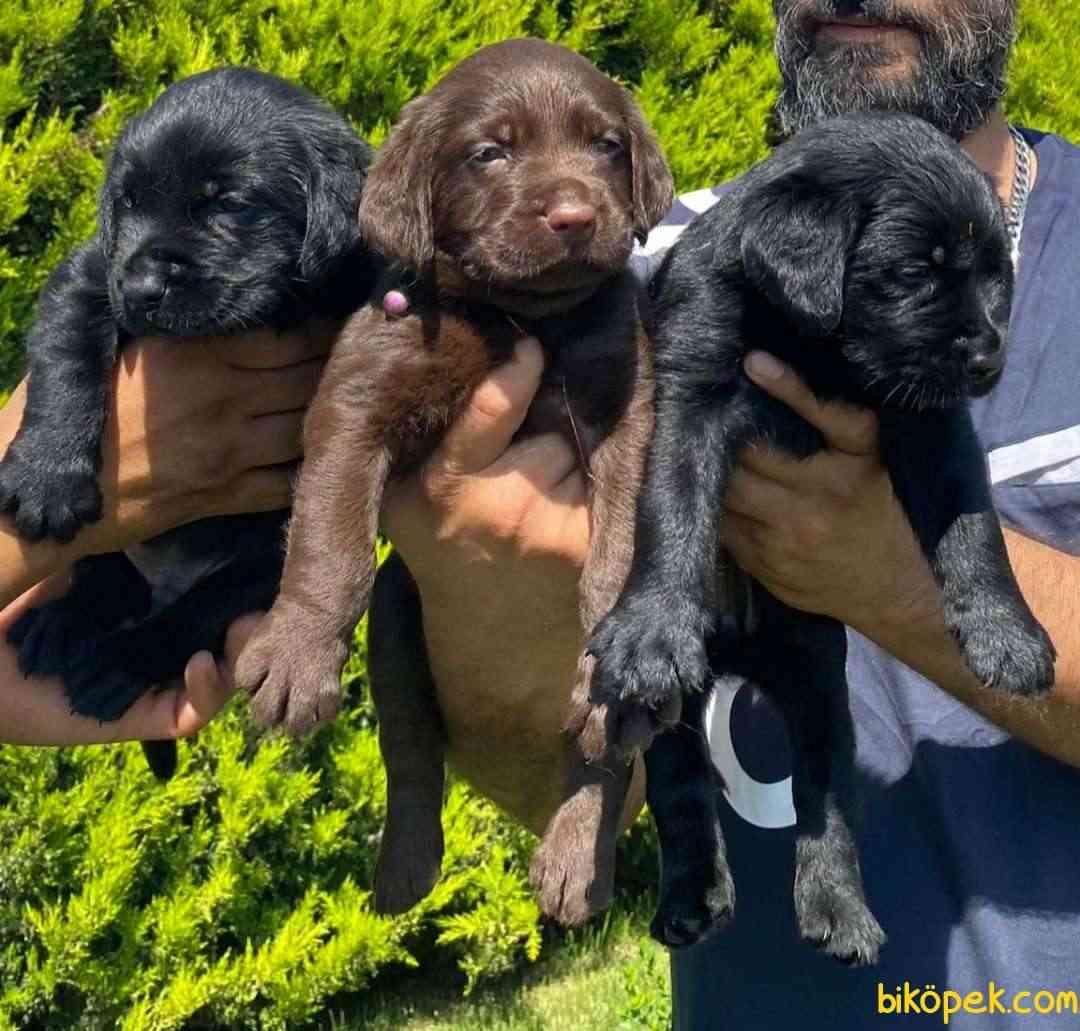 Labrador A Klas Mükemmel Yavrular 1