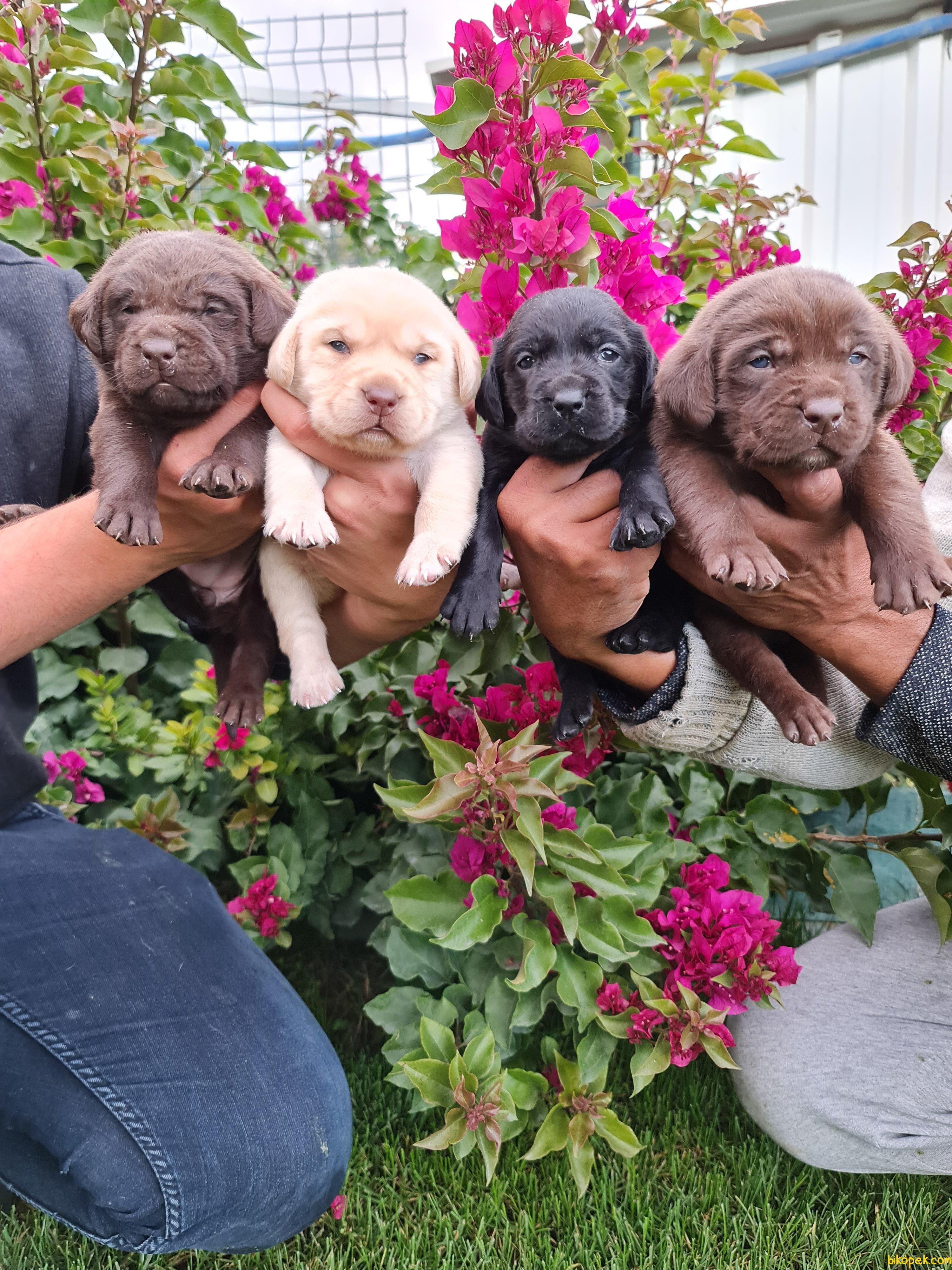 Labrador Redriever Bizden Sorulur Sevimli Yavrular 5