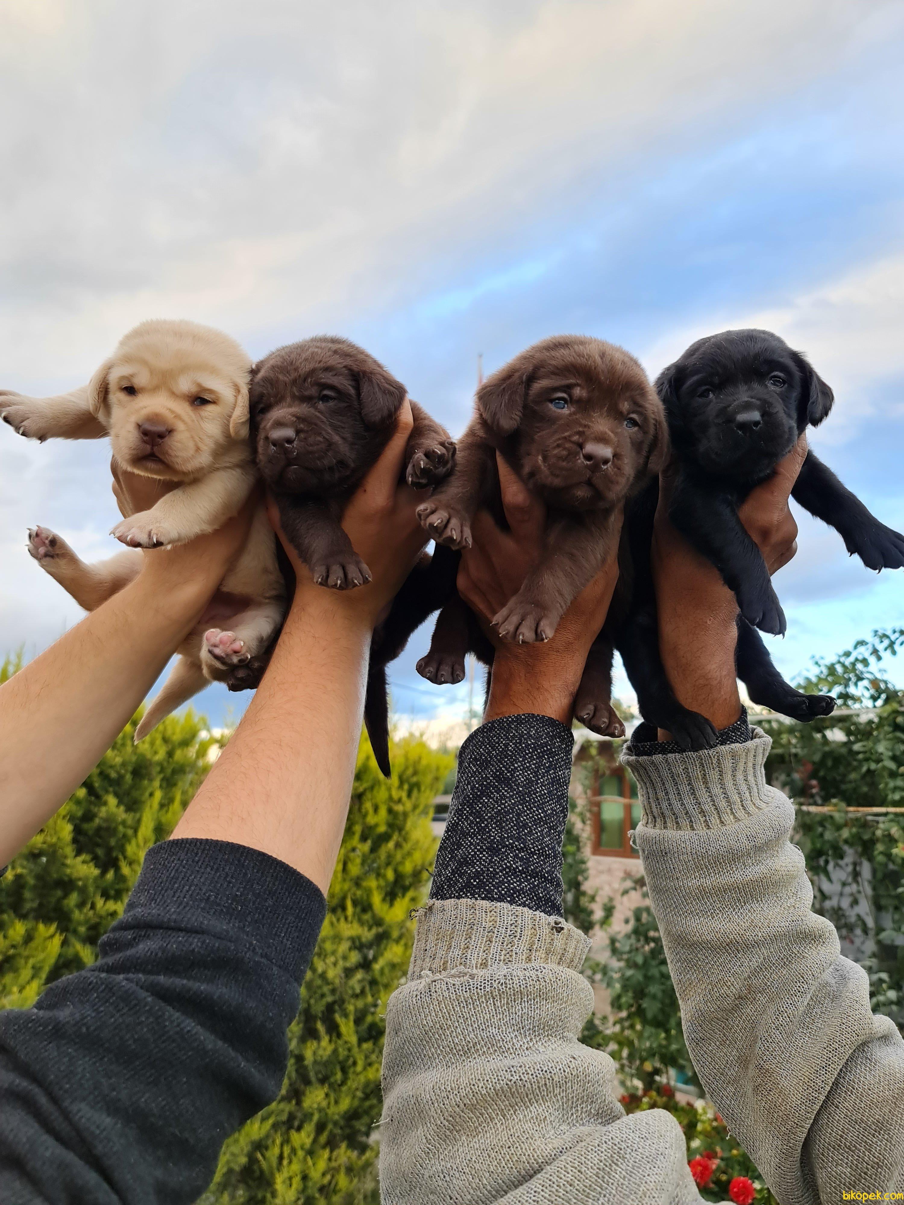Labrador Redriever Bizden Sorulur Sevimli Yavrular 1