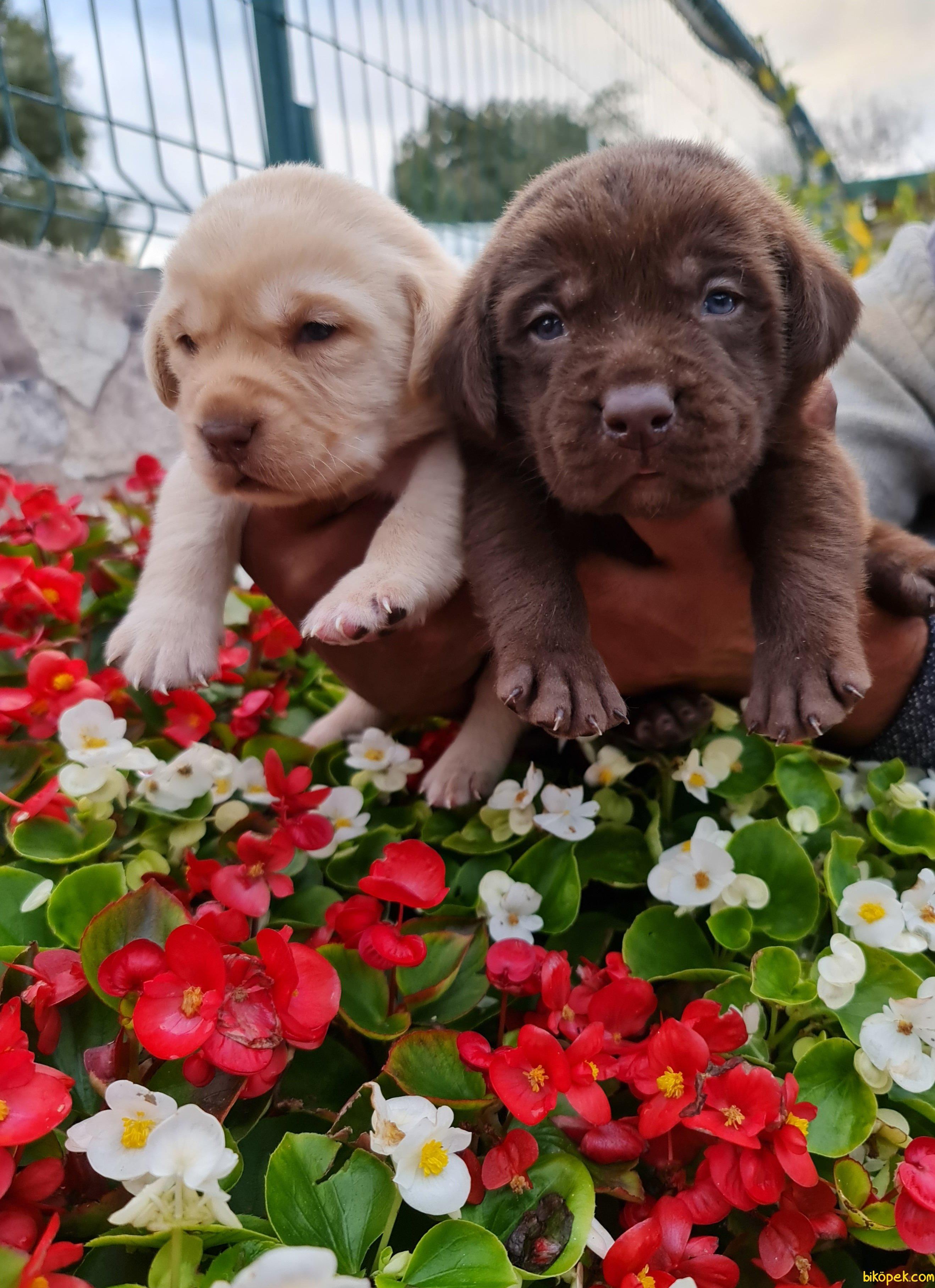 Labrador Redriever Rengarenk Yavrular 1