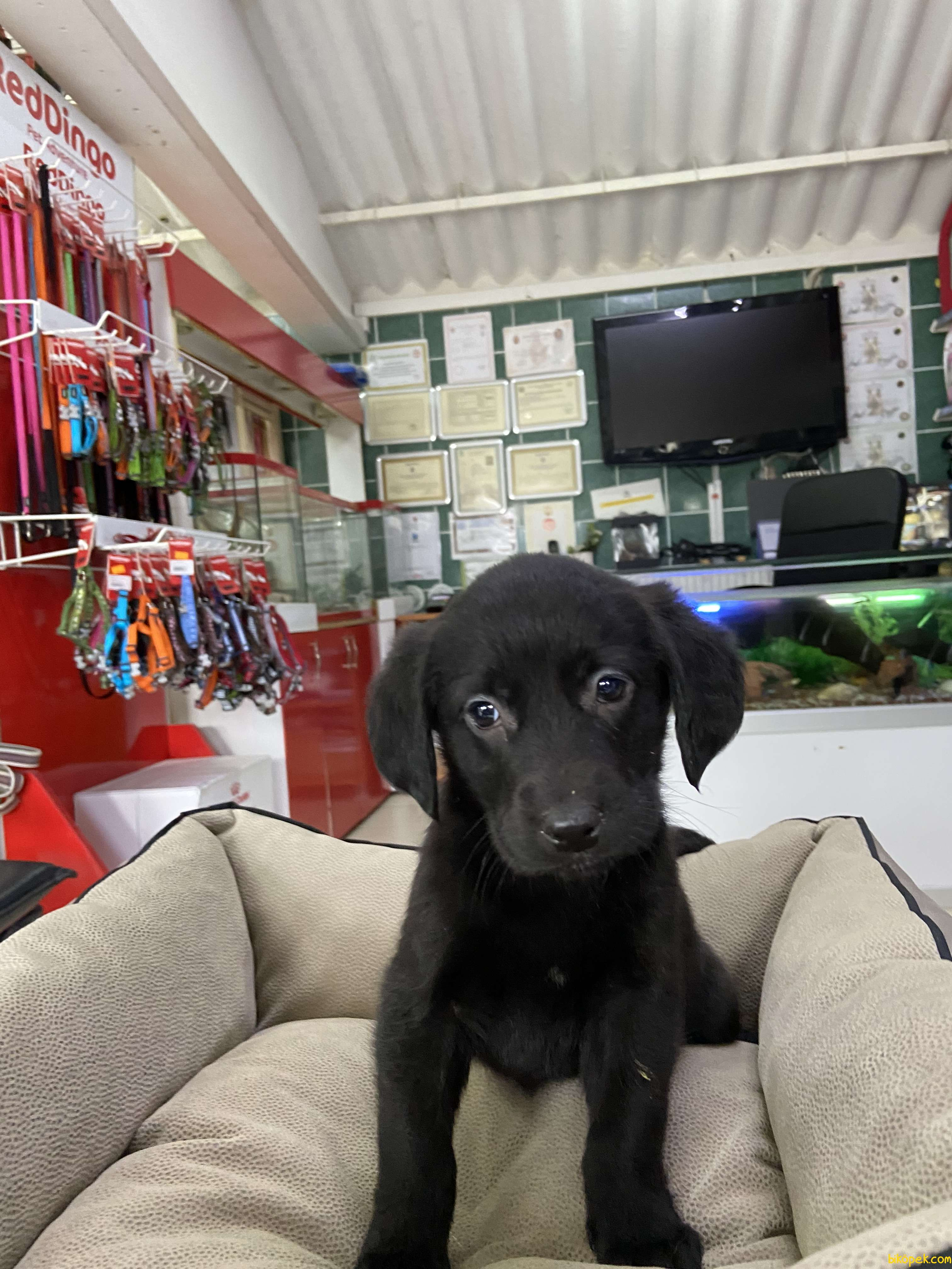 Labrador Retriever 4