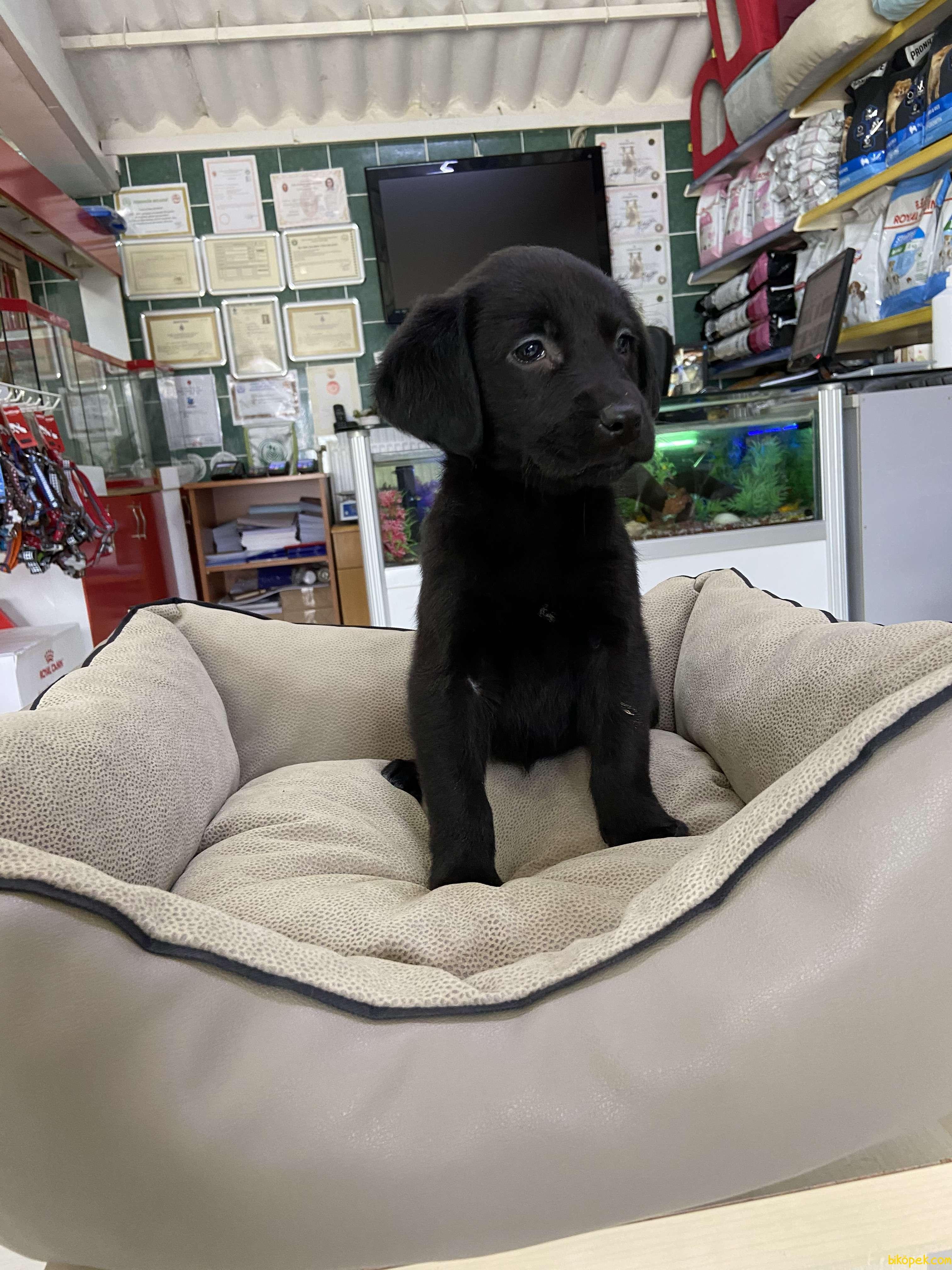 Labrador Retriever 1