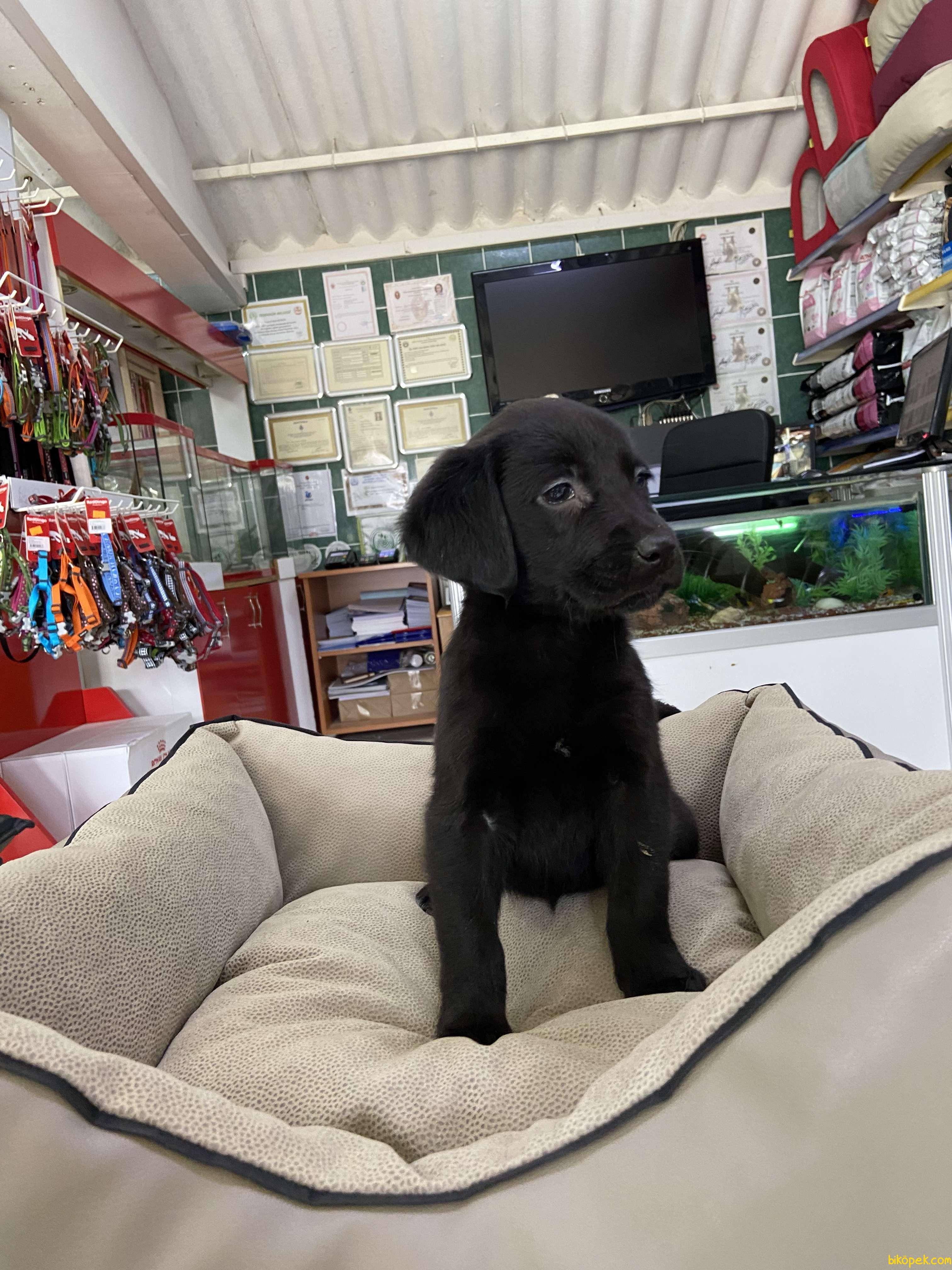Labrador Retriever 5