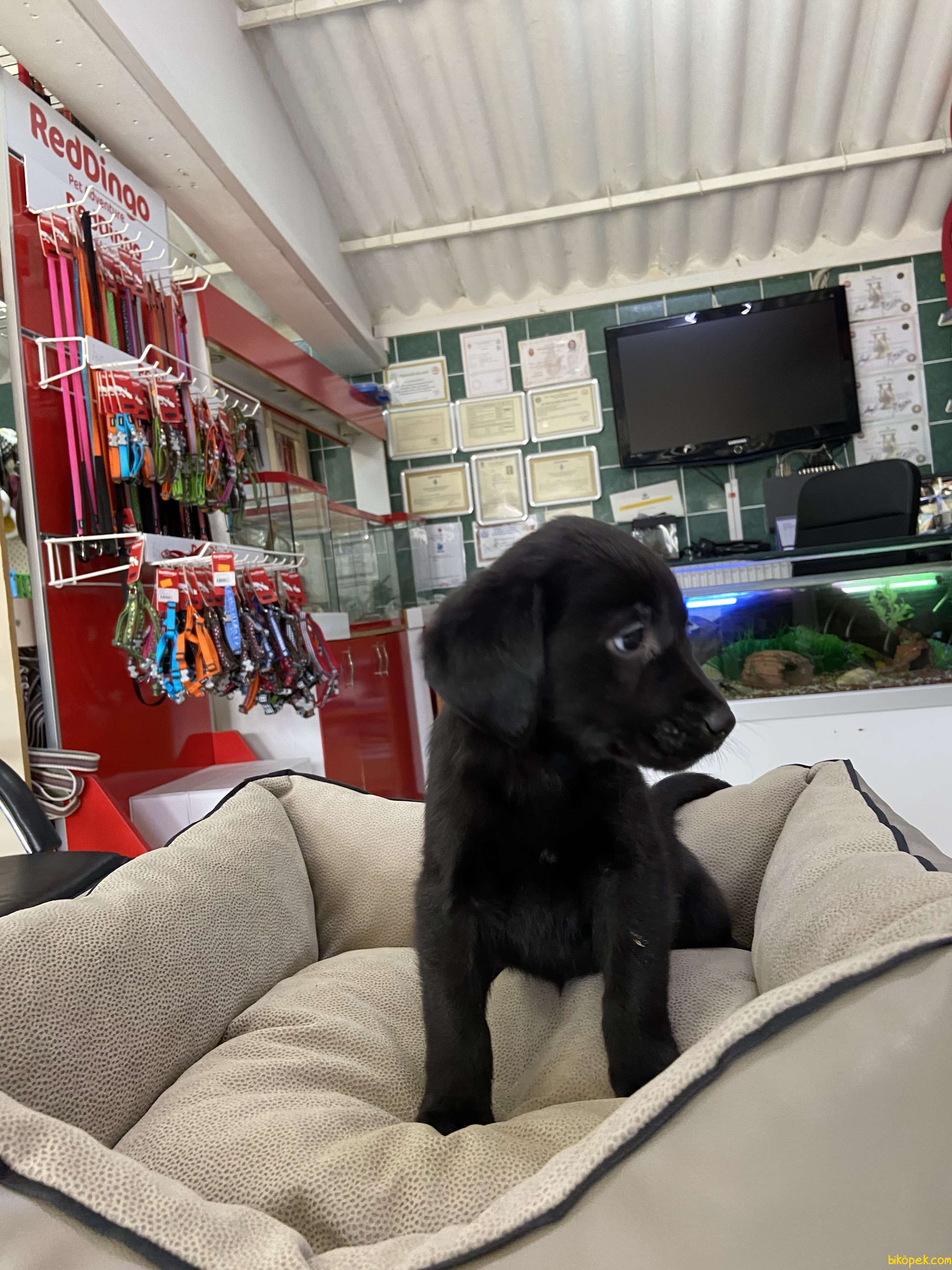 Labrador Retriever 3