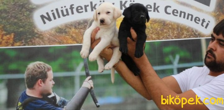 Labrador Retriver Yavrularm 2