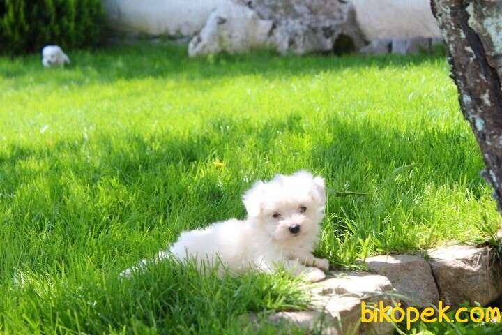 Maltese Bebekler 5