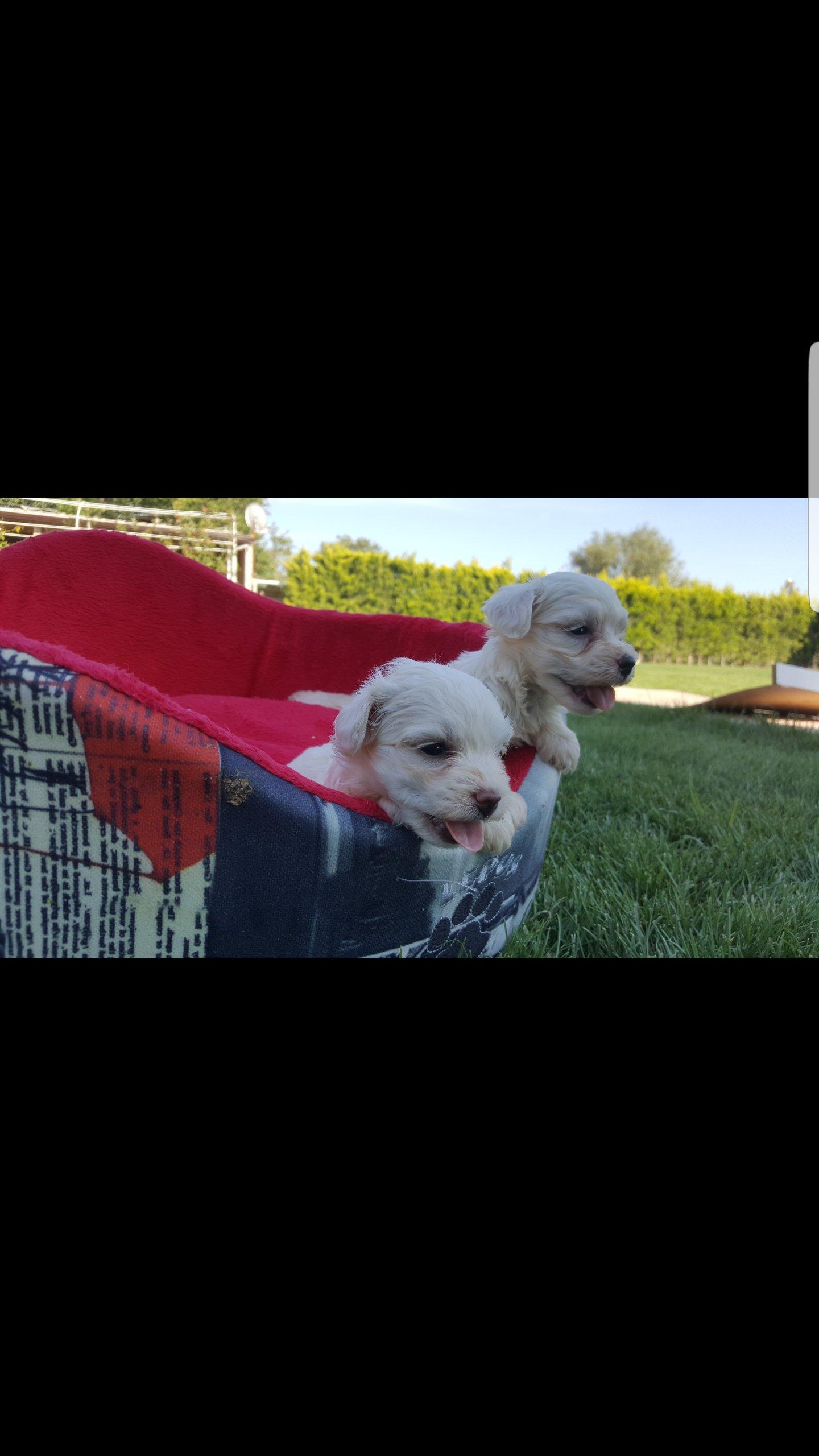 Maltese Terrier 4
