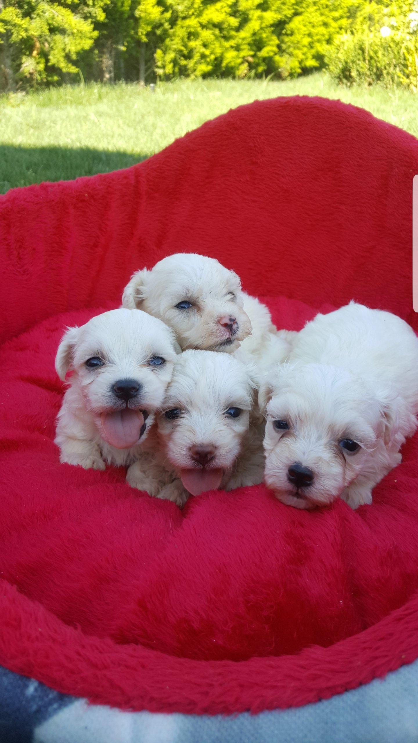 Maltese Terrier 5
